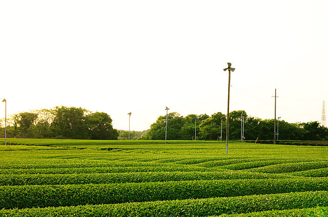 von ajari from Japan (tea plantation_17) [CC BY 2.0 (http://creativecommons.org/licenses/by/2.0)], via Wikimedia Commons