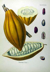 Kakaofrucht mit Bohnen